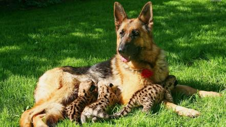 Animals dogs cubs german feeding wallpaper