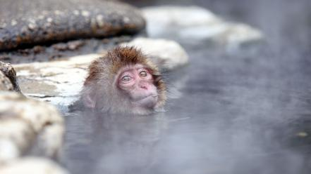 Monkeys ape baby animals macaques japanese macaque Wallpaper