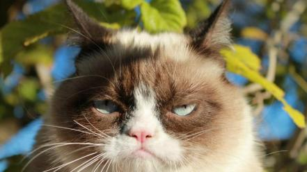 Cats funny meme animals troll grumpy cat wallpaper