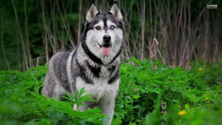Nature animals leaves dogs husky siberian Wallpaper