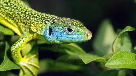 Leaf animals lizards reptiles wallpaper