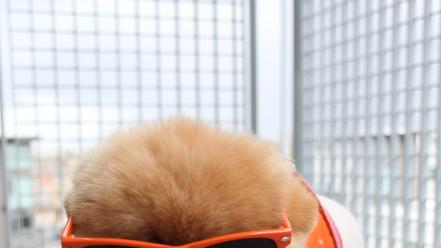 Animals dogs sunglasses pets pomeranian boo Wallpaper