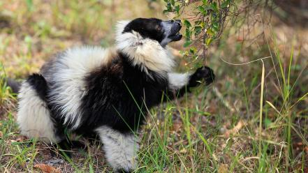 Animals lemurs 27 wallpaper