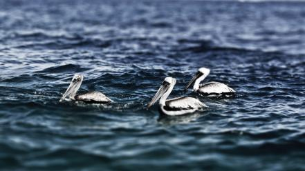 Nature birds waves animals hdr photography pelican sea wallpaper