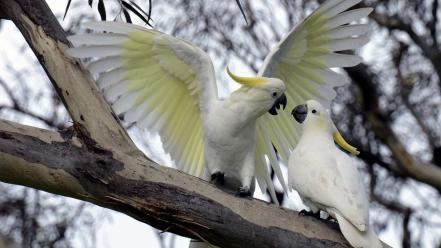 Nature wings birds animals wildlife parrots feathers cockatoo wallpaper