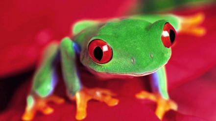 Animals frogs red-eyed tree frog amphibians wallpaper