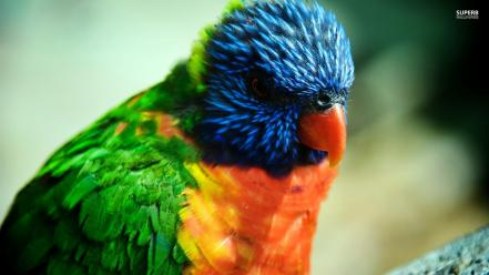 Close-up multicolor birds animals orange parrots wallpaper