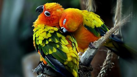 Love parrots couple sun conure wallpaper