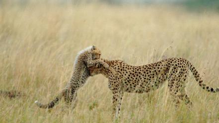 Animals cheetahs nature panthers speed wallpaper