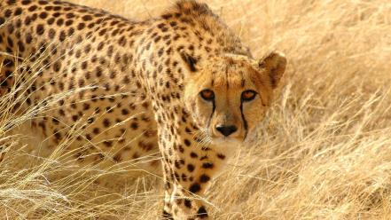 Animals cheetahs predators wild wallpaper
