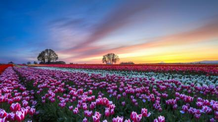 Landscapes flowers tulips wallpaper