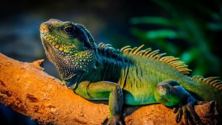 Animals branches iguana reptiles wallpaper