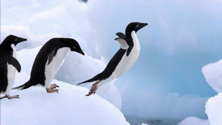 Antarctica animals birds nature penguins wallpaper