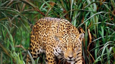 Animals leopards jaguars wallpaper