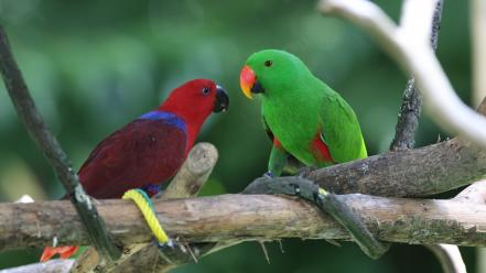 Birds animals parrots wallpaper