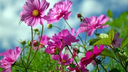 Cosmos flower flowers nature pink Wallpaper