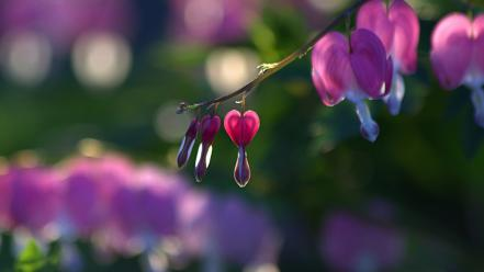 Flowers plants bleeding hearts wallpaper