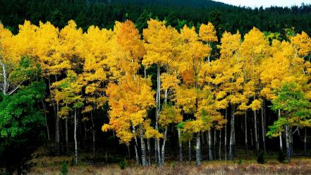 Yellow autumn trees Wallpaper