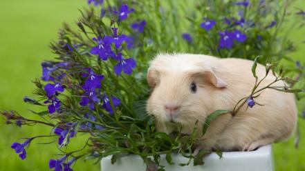 Animals guinea pigs potted plant purple flowers wallpaper