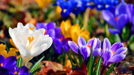 Crocus flowers wallpaper
