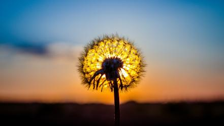 Dandelion sunset wallpaper