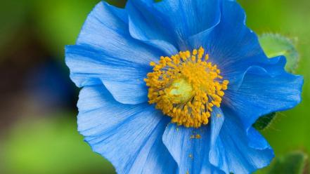 Flowers pollen blue poppies wallpaper