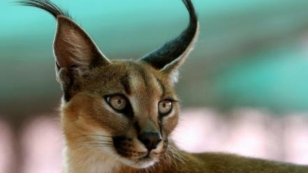 Lynx brush caracal ear Wallpaper