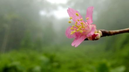 Nature flowers fog mist macro pink wallpaper