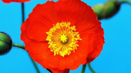 Poppy pictures Wallpaper