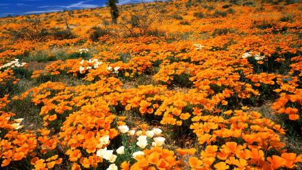 Flowers gold arizona mexican poppies Wallpaper