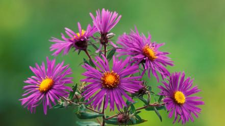 Flowers new england asters wallpaper