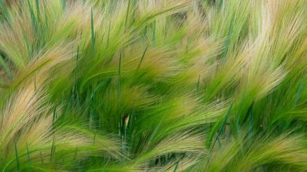 Plants grain barley Wallpaper