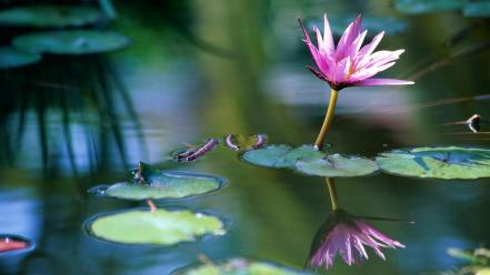 Water flowers lily pads lotus flower wallpaper