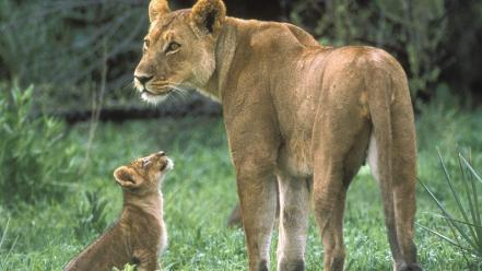 Animals baby cubs lions wallpaper