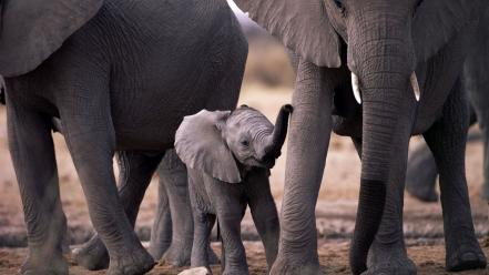 Animals baby elephant cubs elephants wallpaper