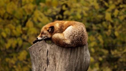 Animals foxes stump Wallpaper