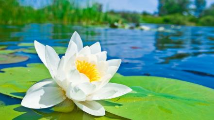 Blurred background lily pads water lilies white flowers wallpaper