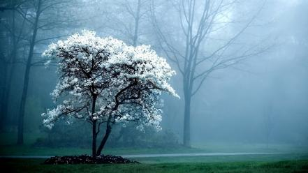 Landscapes trees fog magnolia white flowers flowered wallpaper