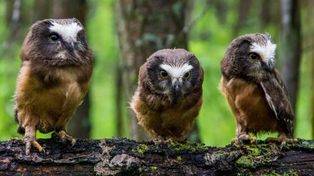 Animals birds branches moss owls wallpaper
