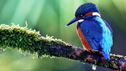 Birds branches kingfisher spider webs Wallpaper