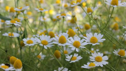 Daisies flowers white wallpaper