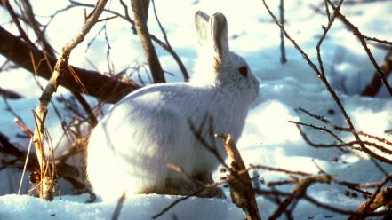 Animals arctic branches bunnies nature wallpaper