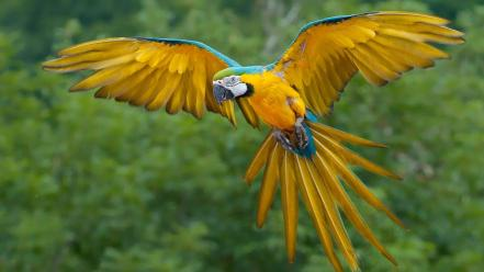 Blue-and-yellow macaws animals birds nature parrots wallpaper