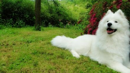Samoyed dogs garden Wallpaper