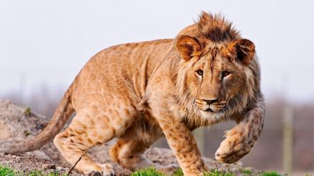 Congolese spotted lion animals grass lions nature Wallpaper