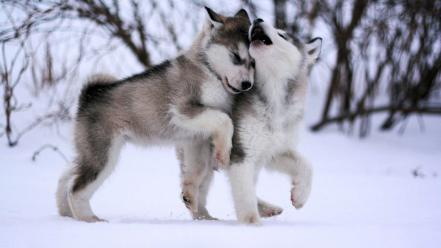 Alaskan malamute puppies wallpaper