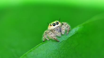 Arachnids closeup insects jumping spider macro Wallpaper