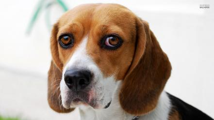 Beagle puppies pictures Wallpaper