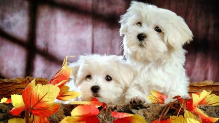Cute bichon frise puppies Wallpaper