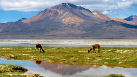 Andes biosphere reserve chile animals Wallpaper